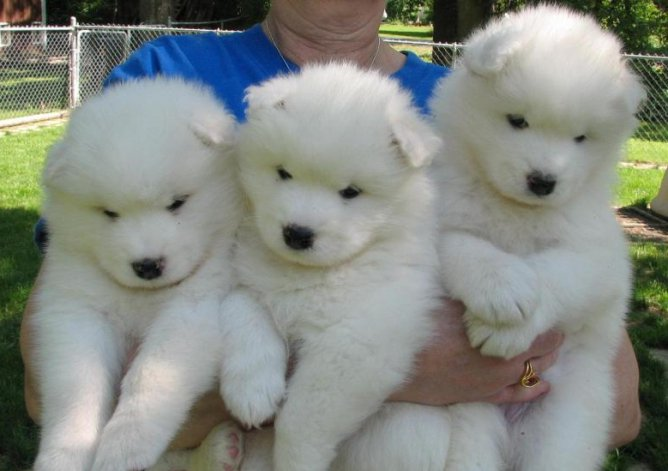 samoyed puppies fluffiest dog breeds