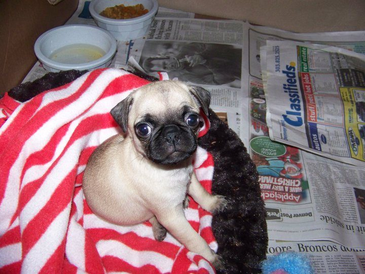 Pug puppy - how do I puppy-proof my house?