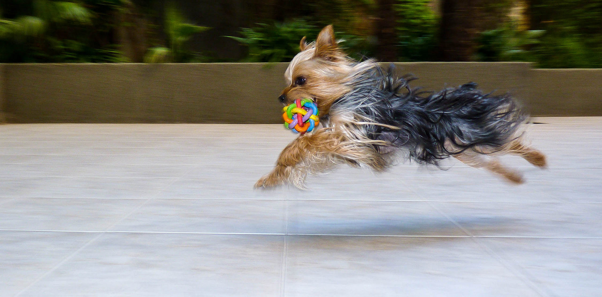 10 Yorkies Too Small To Be Believed The Dog People By Rovercom
