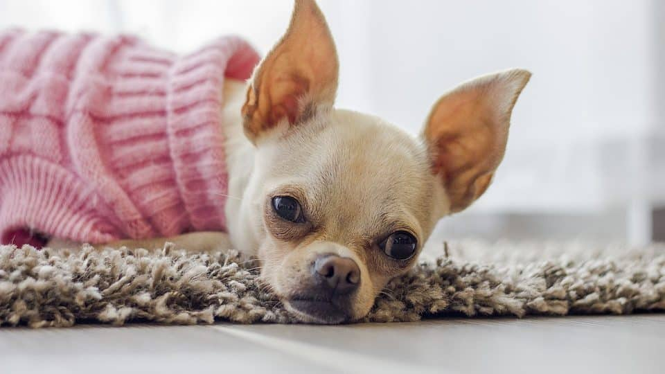 A fancy Chihuahua wears a pink sweater, lying on a rug.