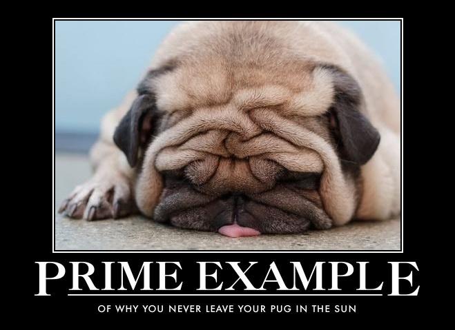 pug melting wrinkles