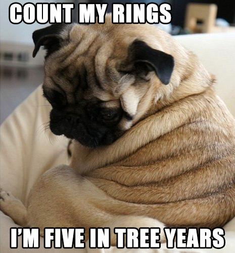 pug puppy wrinkles tree