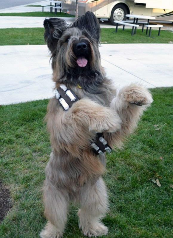 chewbacca dog star wars day briard
