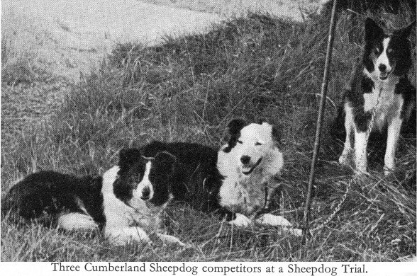 cumberland sheepdog extinct dog breeds