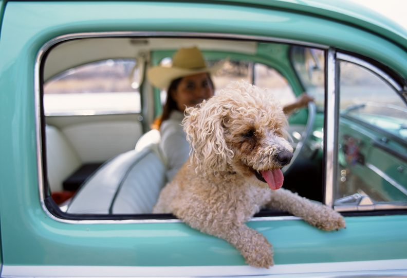 Dog in a car - summer travel trends for pet parents