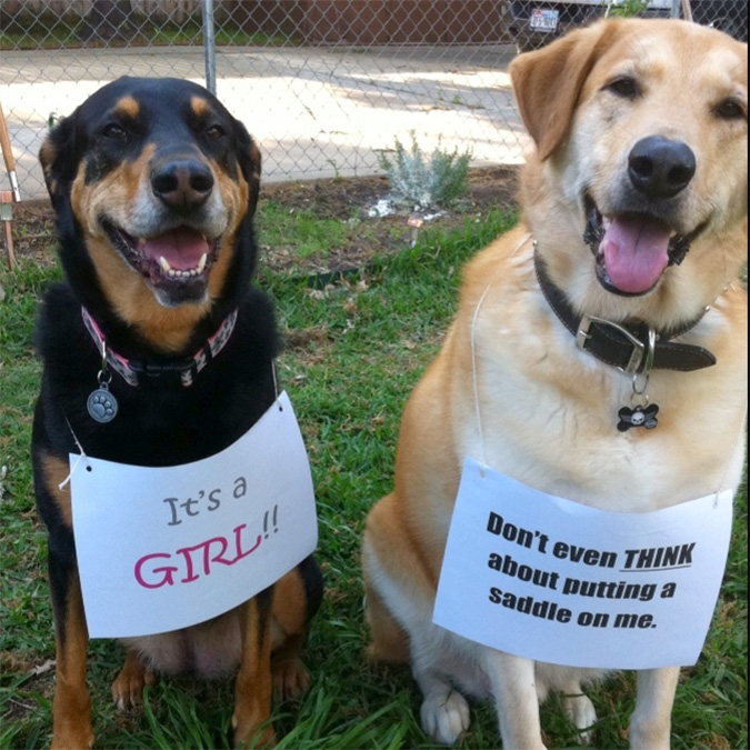 funny gender reveal announcement dogs