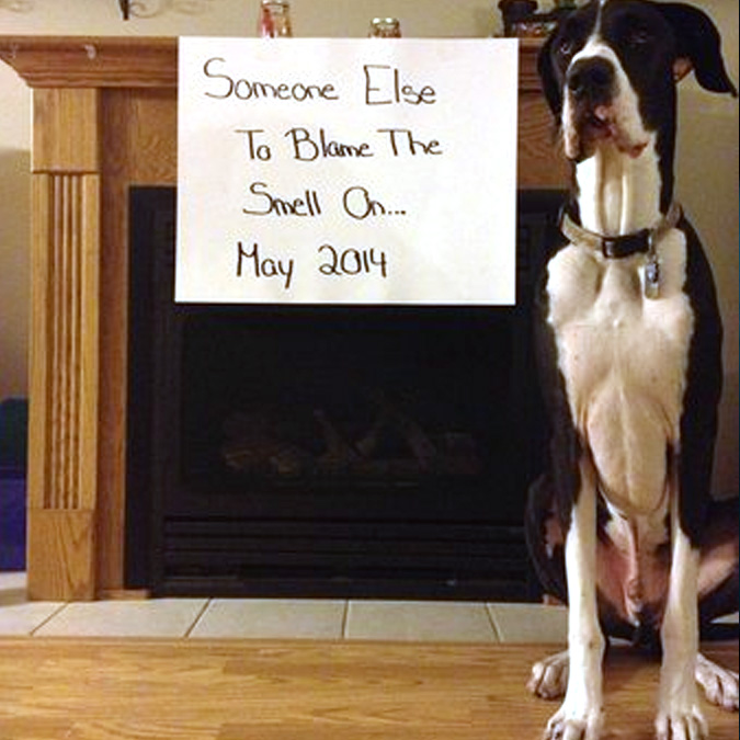 great dane dog funny baby reveal