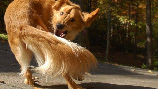 7 faits surprenants sur la queue de votre chien