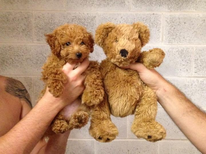 Simple Cutest Brown Adorable Dog - poodle-teddy-bear-720x540  You Should Have_418812  .jpg