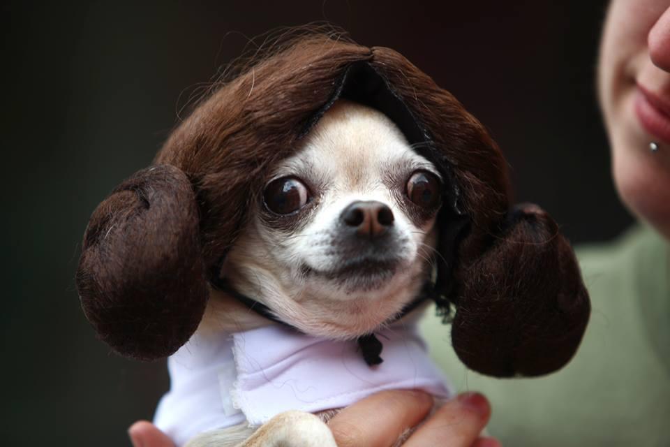 princess leia chihuahua star wars day