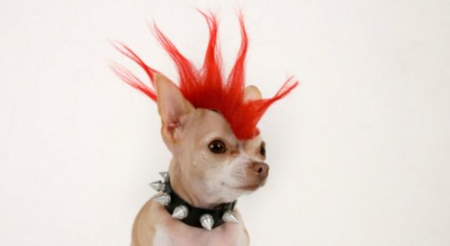 punk chihuahua
