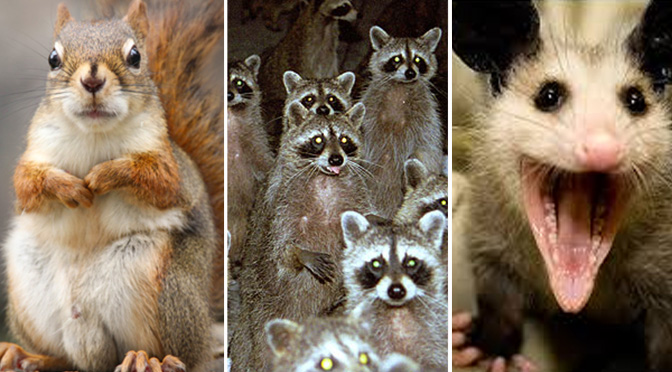 squirrel-raccoon-possum fmk