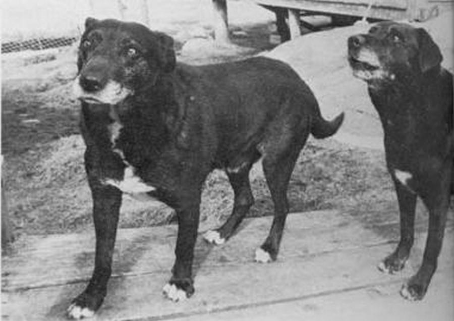 st johns water dog extinct dog breed
