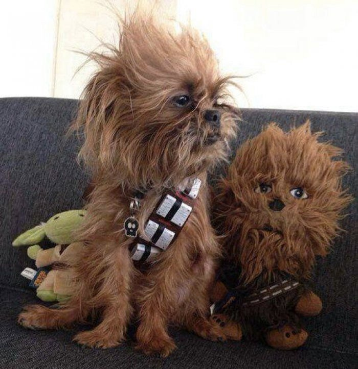 the tiniest chewbacca dog star wars