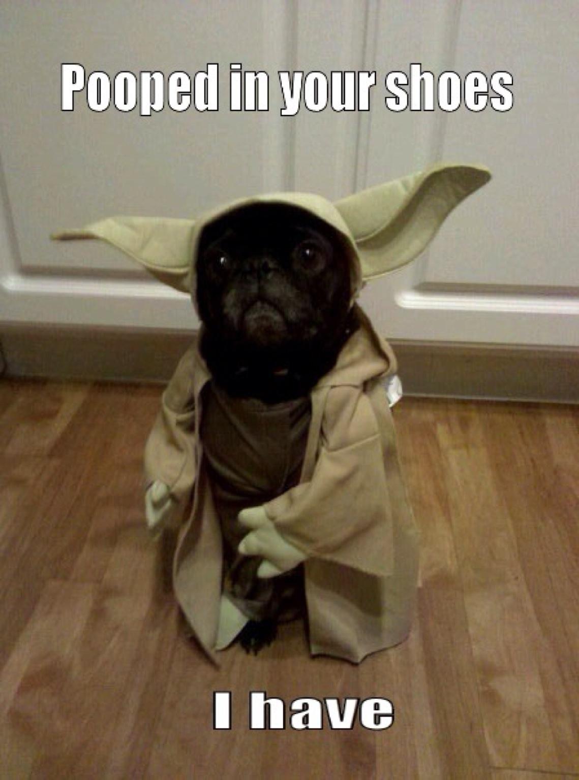 yoda pug star wars day