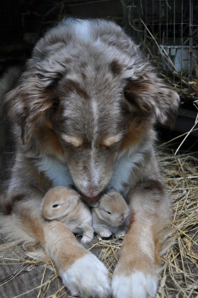 aussie mix bunny foster dog