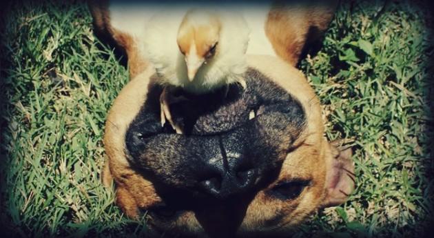 boom pitbull dog interspecies foster mom