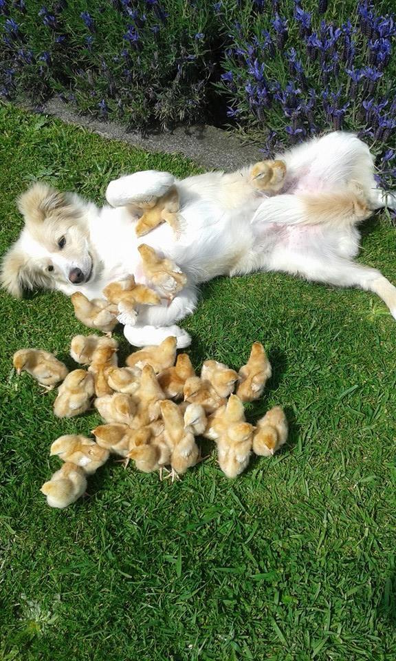 dog fostering baby chicks