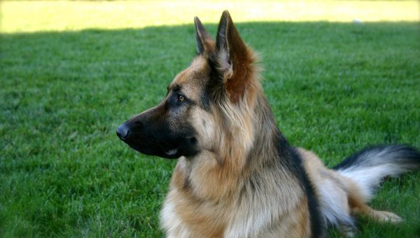 German Shepherd Dog Breed Spotlight: 5 Essential Traits