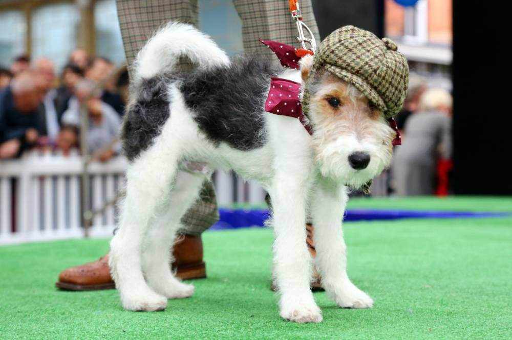 25 Aug 2014, UK --- Shadwell, United Kingdom. 25th August 2014 -- Old Spitalfields Market Paw Pageant 2014, London. A host of doggy dudes donned couture designer fashions from the queen of canine couture, Lilly Shahravesh of LoveMyDog to fund raise for Battersea Dog & Cats Home in a special doggy fashion show. Each -- The Paw Pageant, a cute canine fashion show, took place at Old Spitalfields Market with dogs wearing fashions created by Lilly Shahravesh of LoveMyDog in aid of Battersea Dogs and Cats Home. There were also fun competitions for best dressed dogs. --- Image by   Paul Brown/Demotix/Corbis