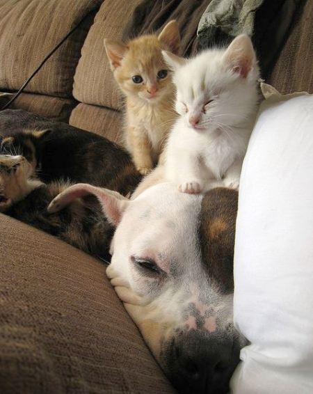 kiwi pitbull foster kittens