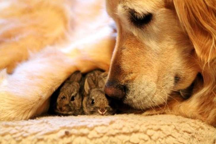 koa golden retriever with bunnies