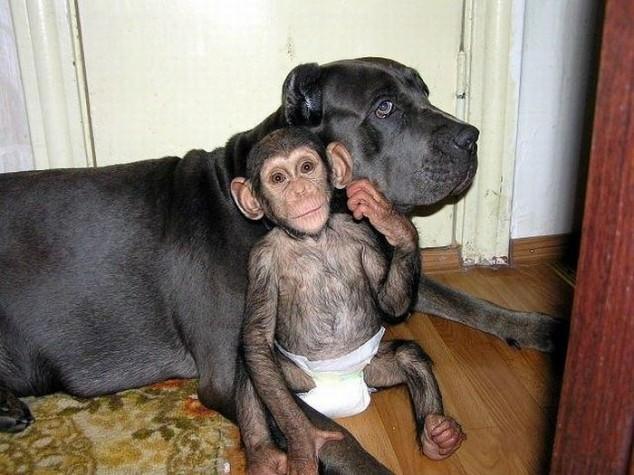 mastiff adopts orphan chimpanzee