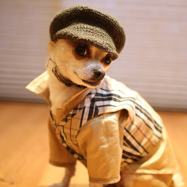 montjiro instagram dog fashion chihuahua