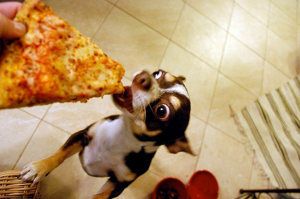 pizza dog junk food chihuahua