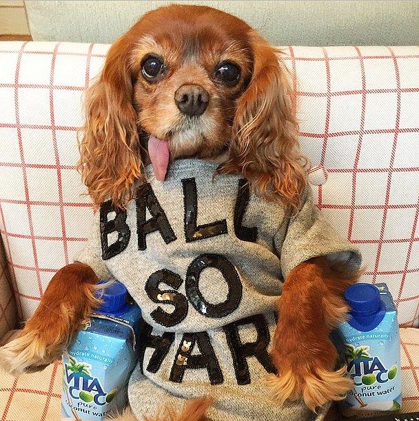 toast instagram dog fashionista cavelier king charles spaniel