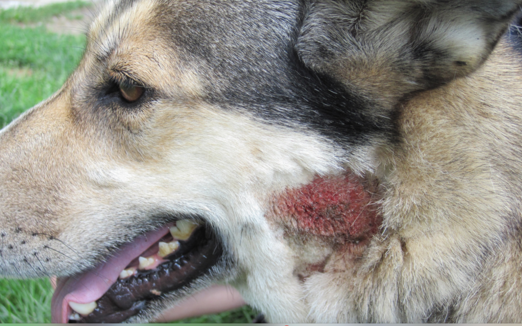 "Dogs with allergies will often lick and scratch until they get ""hot spots"" like this one."