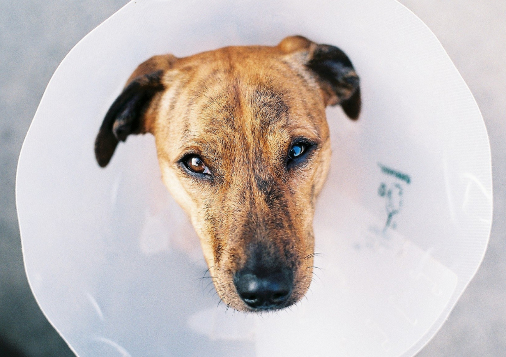 Getting your dog some relief from his allergy itches can lead to a much better quality of life. Otherwise, he might have to live his life in the cone, which is no way to live at all!