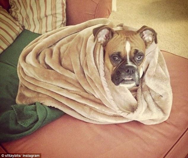 12 Dogs Wrapped Up Like Adorable Burritos Rover Com