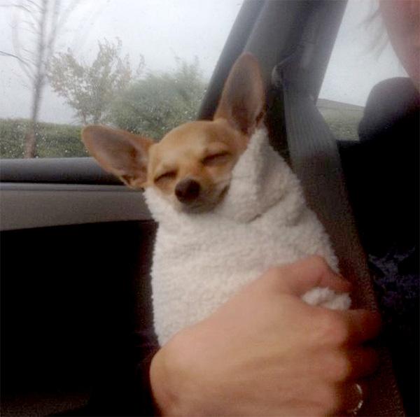 burrito dog chihuahua