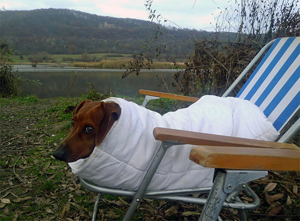 dachshund dog burrito au naturel