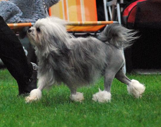 french dog lowchen
