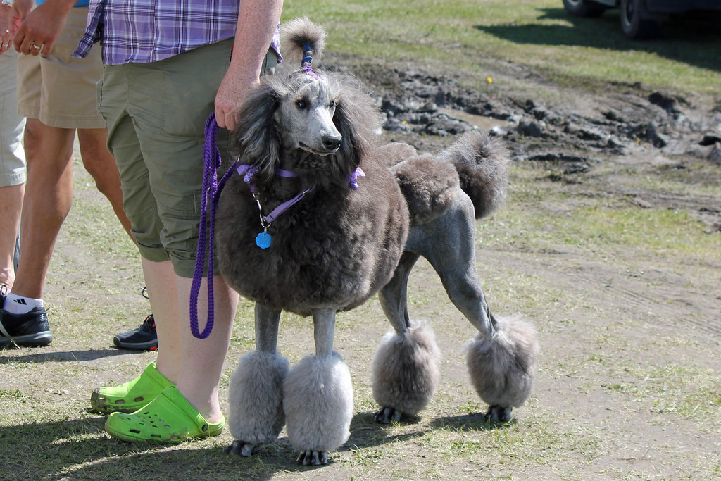 french-poodle