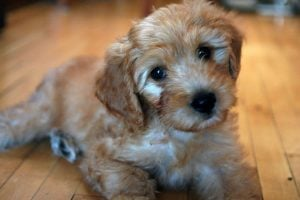 Mixed breeds like this Goldendoodle - Golden Retriever/Poodle mix - are all the rage!