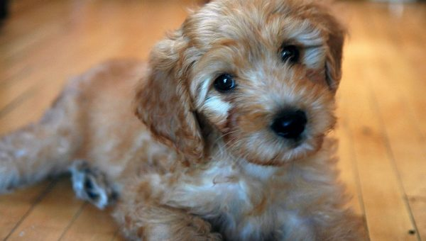 Goldendoodle Puppies: The Ultimate Guide for New Dog Owners