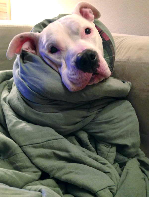 pibble dog burrito