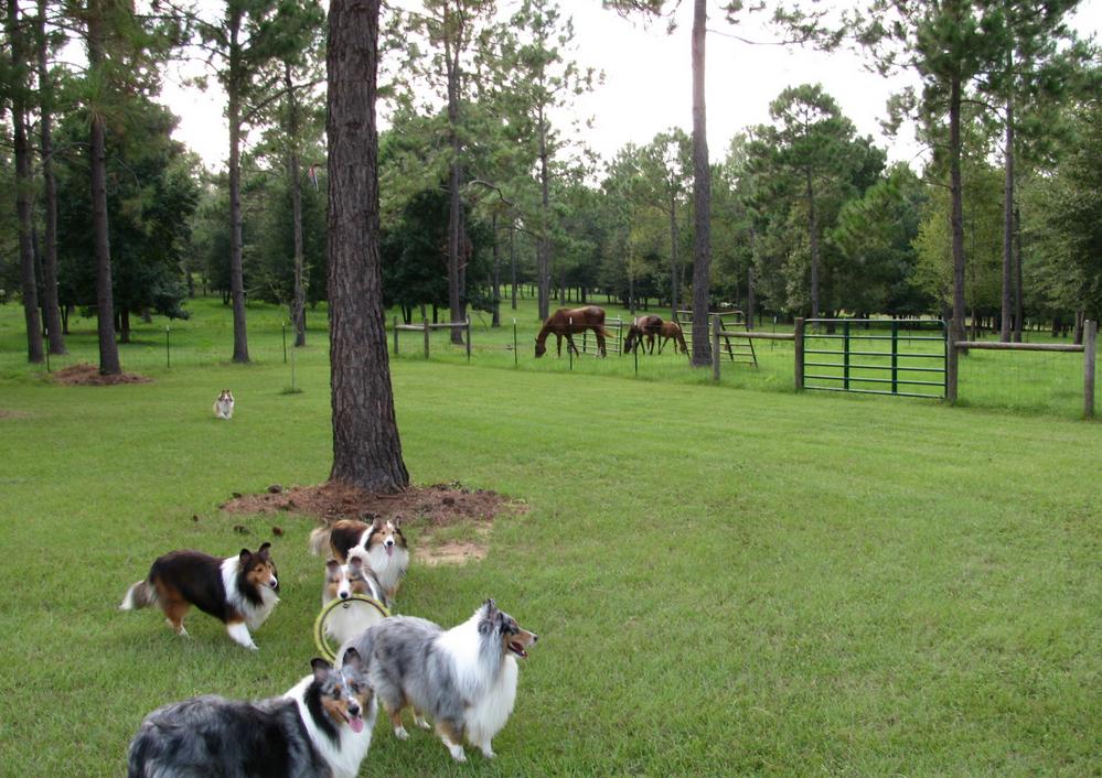 sheltie-horses