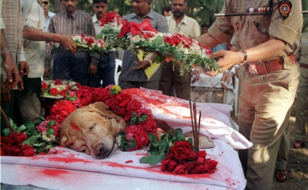 zanjeer heroic bomb sniffing dog of mumbai india