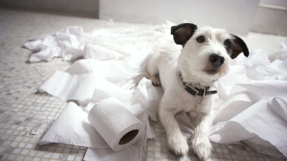 Dog lying on bathroom floor amongst shredded lavatory paper