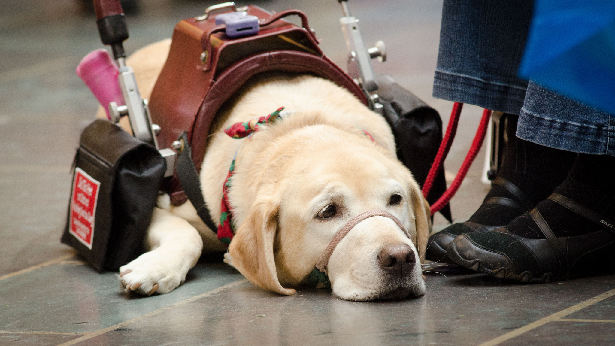 A Step By Step Guide To Becoming A Service Dog The Dog People By