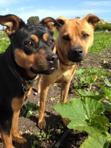 """These """"Twin Dogs"""" live on a farm, so they spend a lot of time outdoors. Dogs can enjoy being outdoors in the summer, too—just make sure they are protected.  Photo courtesy of Richard Soss of Twin Dog Farms."""