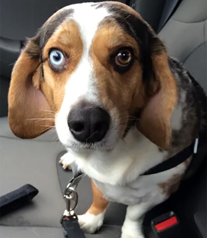 beagle mix one blue eye