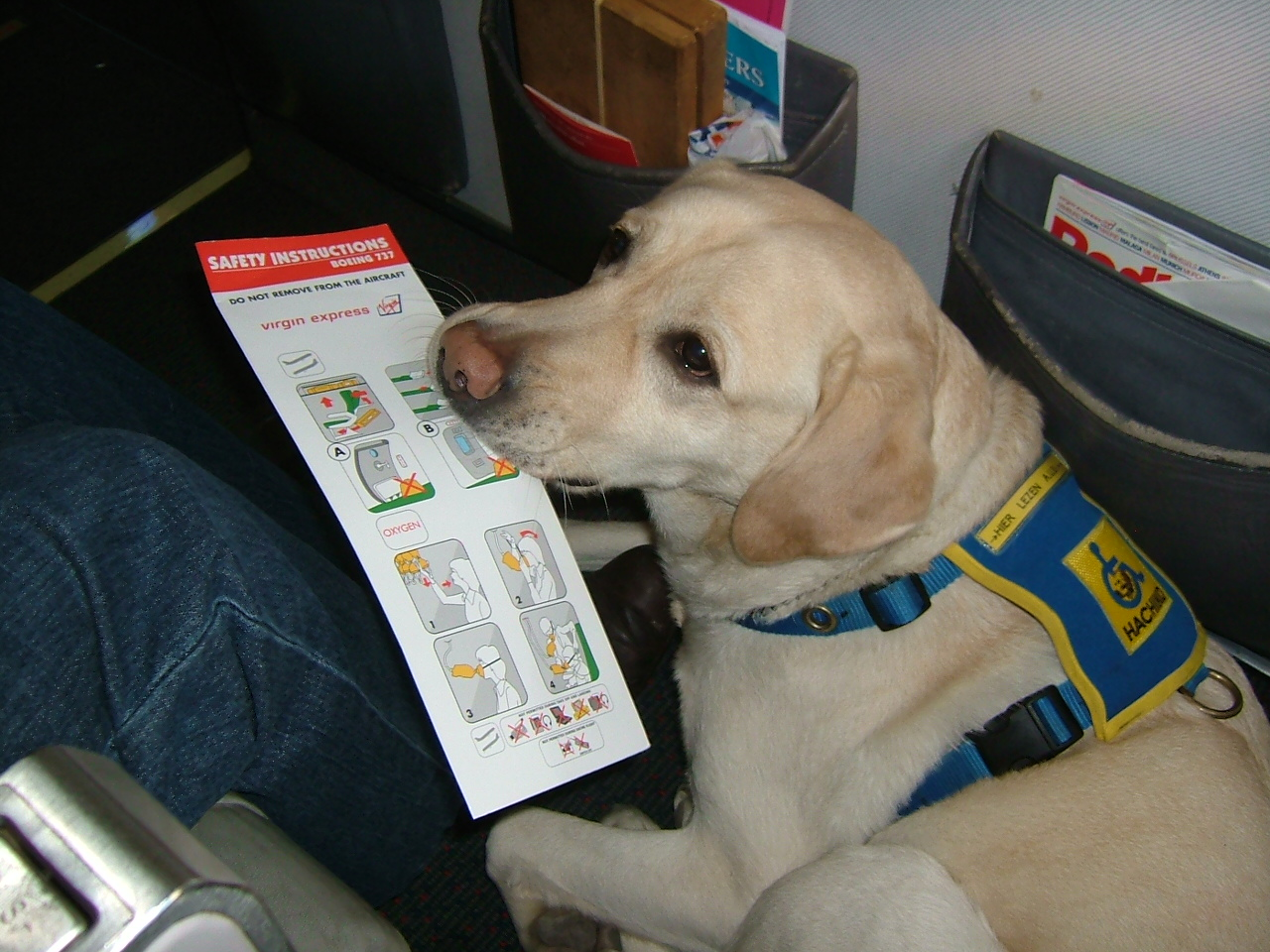Service Dog In Training Airline
