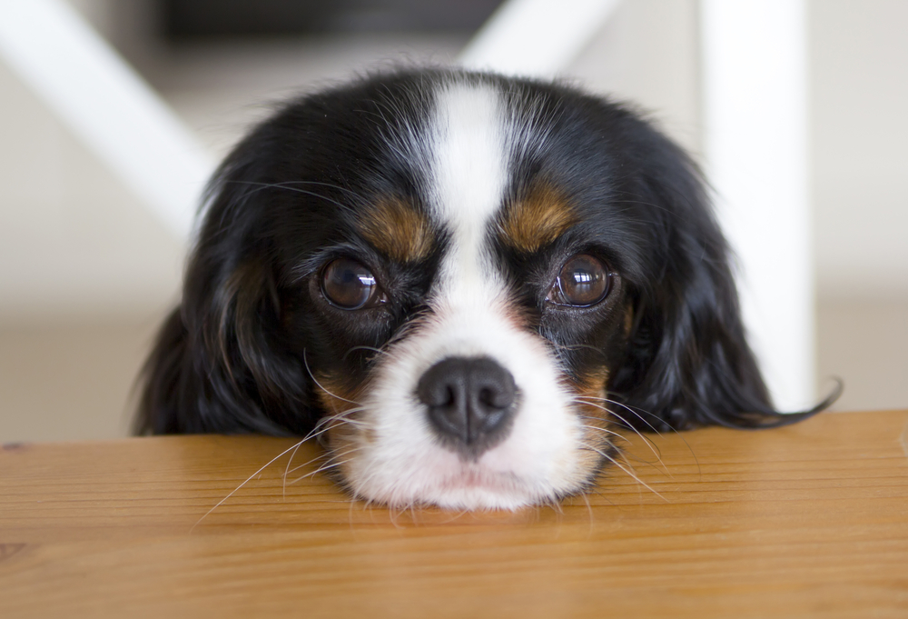 cavalier king charles spaniel intense eye contact