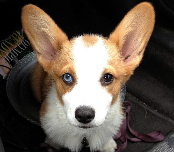 corgi one blue eye sm