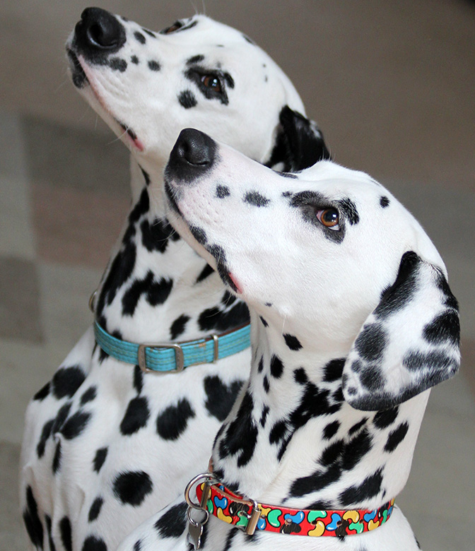 dalmatian pop of color collar